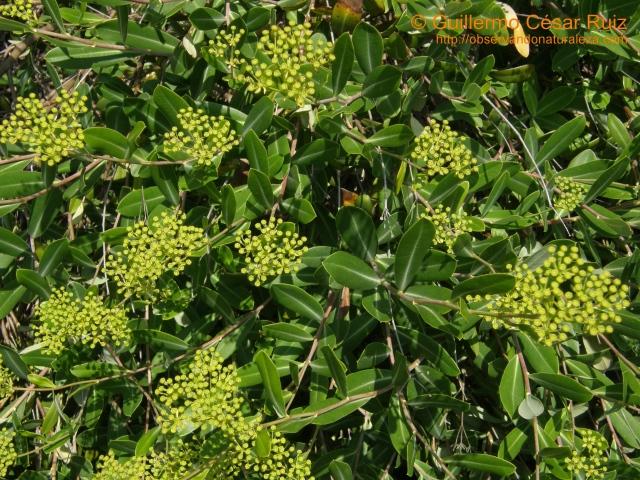 Adelfilla, Bupleurum fruticosum