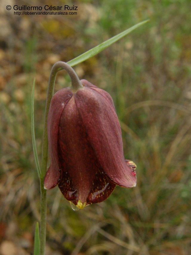 Ajedrea, Fritillaria nervosa subsp. falcata