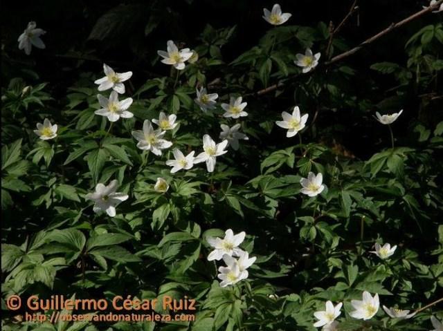 Llaberas o anémonas, Anemone nemorosa