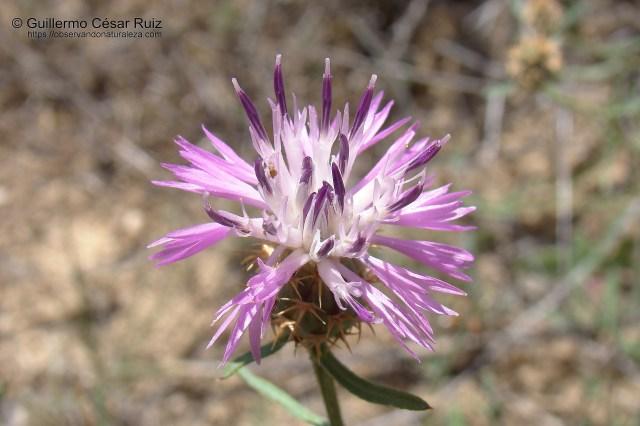 Brasera, Centaurea aspera
