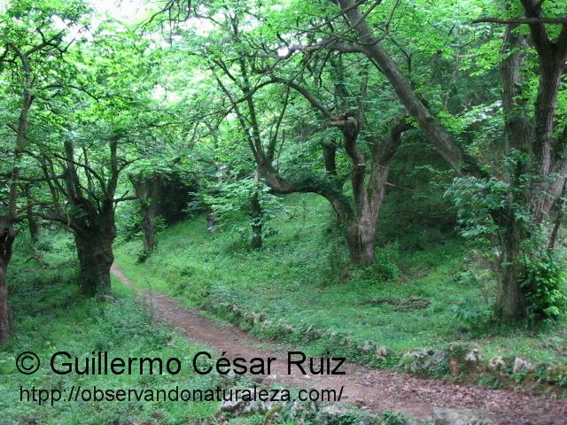 Castañéos camino de La Marzanal