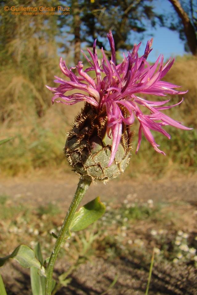 Centaurea mayor, Centaurea scabiosa