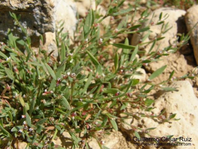 Centidonia, Polygonum aviculare