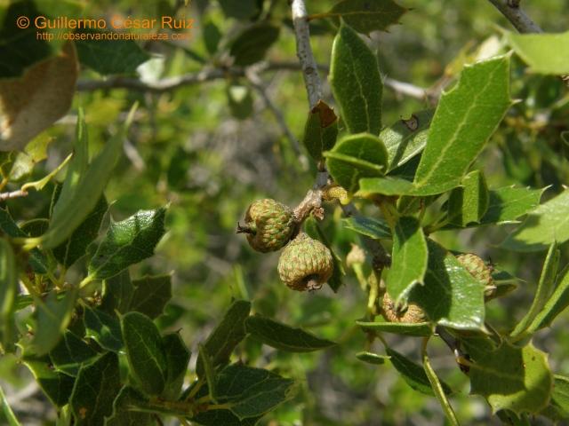 Coscoja, Quercus coccifera, haz hojas y bellotas abortadas