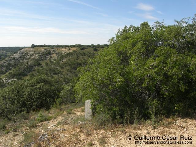 Coscoja, senda Valle de San Juan-Dueñas