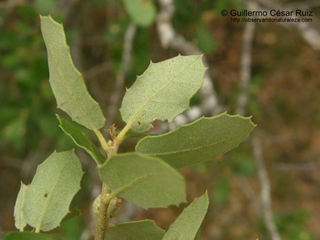 Quercus x auzandrii, envés hojas