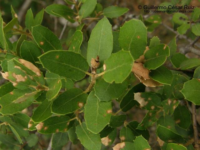 Quercus x auzandrii, haz hojas