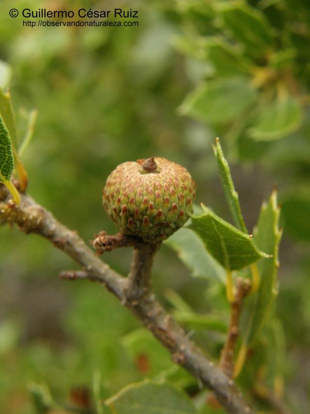 Cusculla (Quercus coccifera), fruto abortado