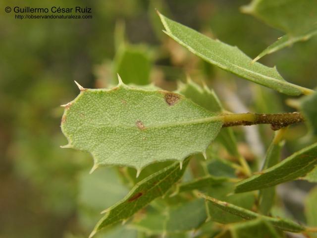 Cusculla (Quercus coccifera), envés hoja