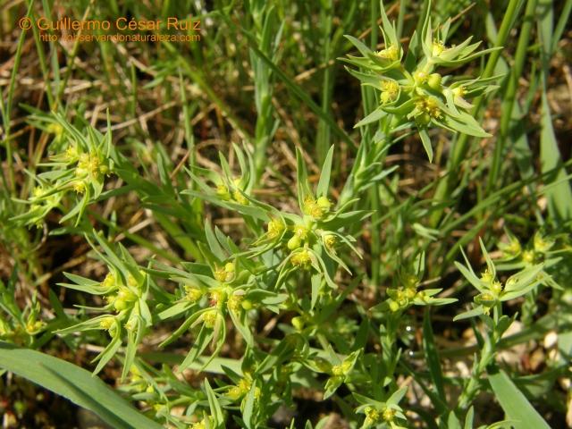 Euphorbia exigua subsp. exigua
