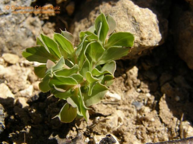 Euphorbia falcata subsp. falcata, fruto