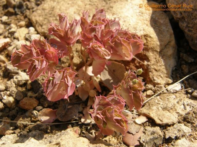 Lechetrezna rojilla, Euphorbia falcata subsp. falcata var. acuminata, Carropluma