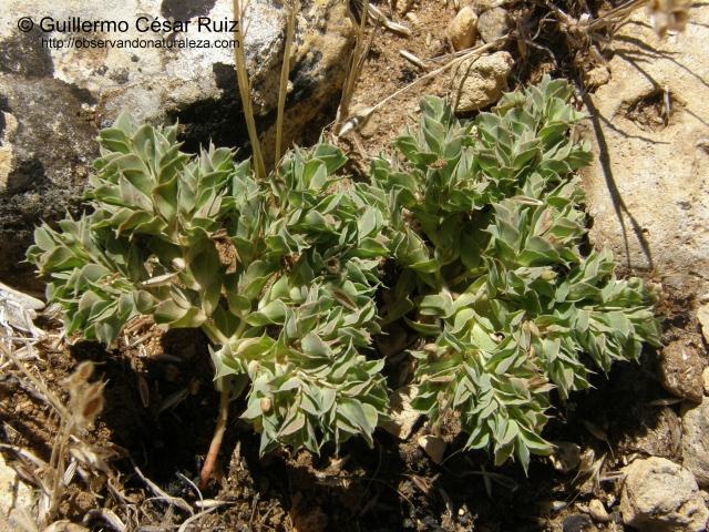 Euphorbia falcata subsp. falcata