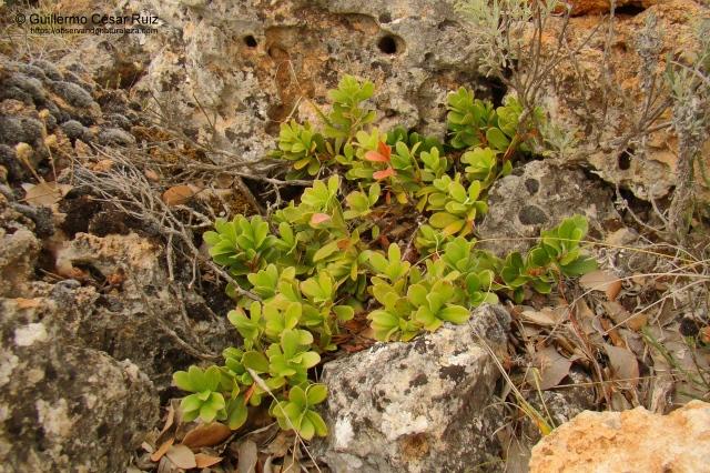 Gayuba, Arctostaphylos uva-ursi
