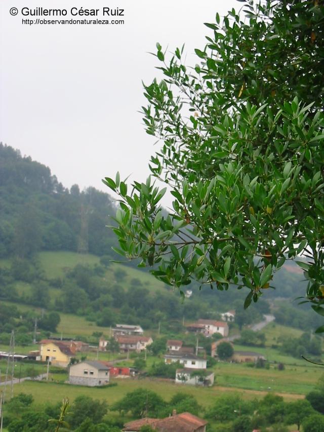 Guerezu, Phyllierea latifolia