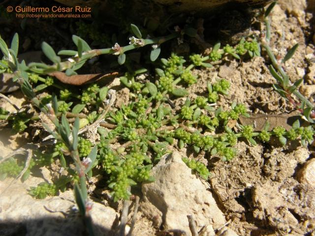 Quebrantapiedras, Herniaria ciliolata subsp. robusta