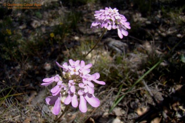 Carraspique o cestillo de plata,Iberis ciliata subsp. contracta