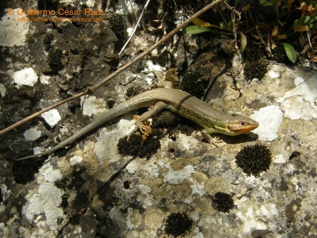 Lagartija cenicienta, Psammodromus hispanicus