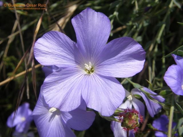 Lino azul, Linum narbonense