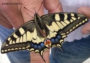 Macaón, Papilio machaon