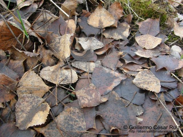 Hojas secas de Populus nigra