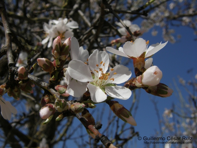 Almendro, Prunus dulcis
