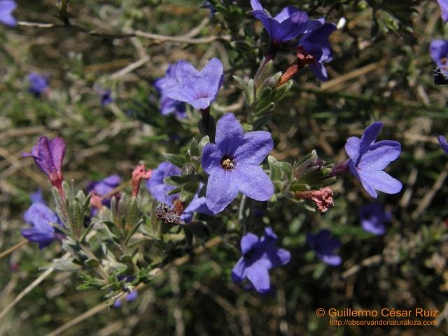 Hierba de las siete sangrías o asperones,Lithodora fruticosa