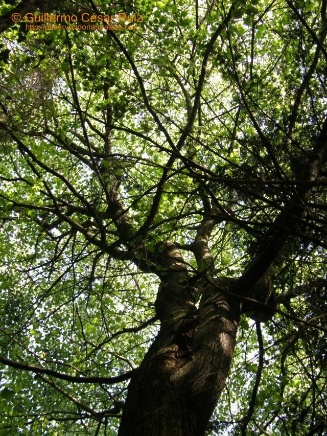 Arceyal o Alcafresna, Sorbus torminalis