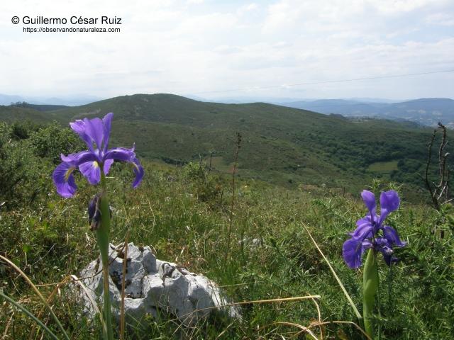 serie de vegetación mesotemplada o colina deargomales con enabios(Ulici europaei-Genistetumoccidentalis sigmetum) con lliriu azul o coyón de llobu, Xiphion latifolium