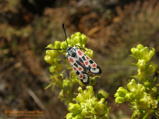 Gitana o papallones, Zygaena occitanica libando flores de la Ruda, Ruta chalapensis