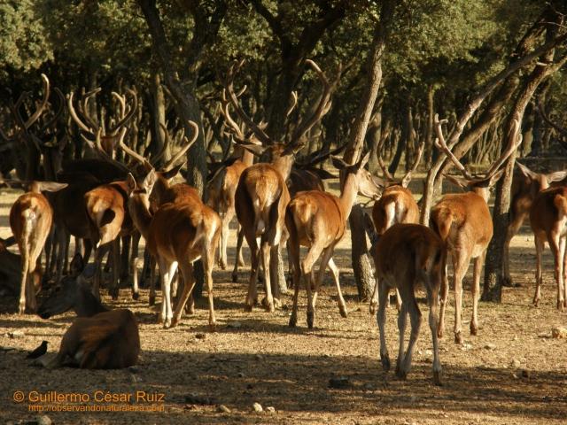 Ciervos, Cervus elaphus, en el Parque de Valdellano