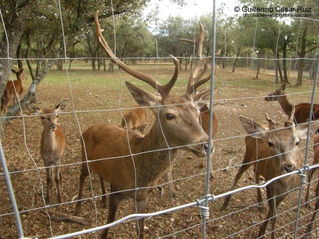 Ciervos en Valdellano