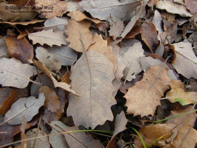 hojas secas de roble carrasqueño o quejigo, Quercus faginea subsp. faginea