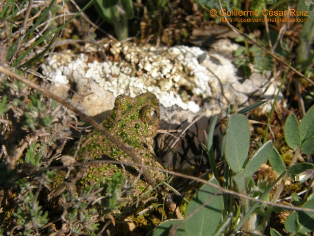 Sapillo moteado común, Pelodytes punctatus