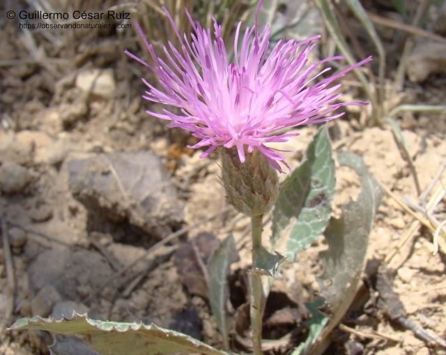 Serratula pinnatifida