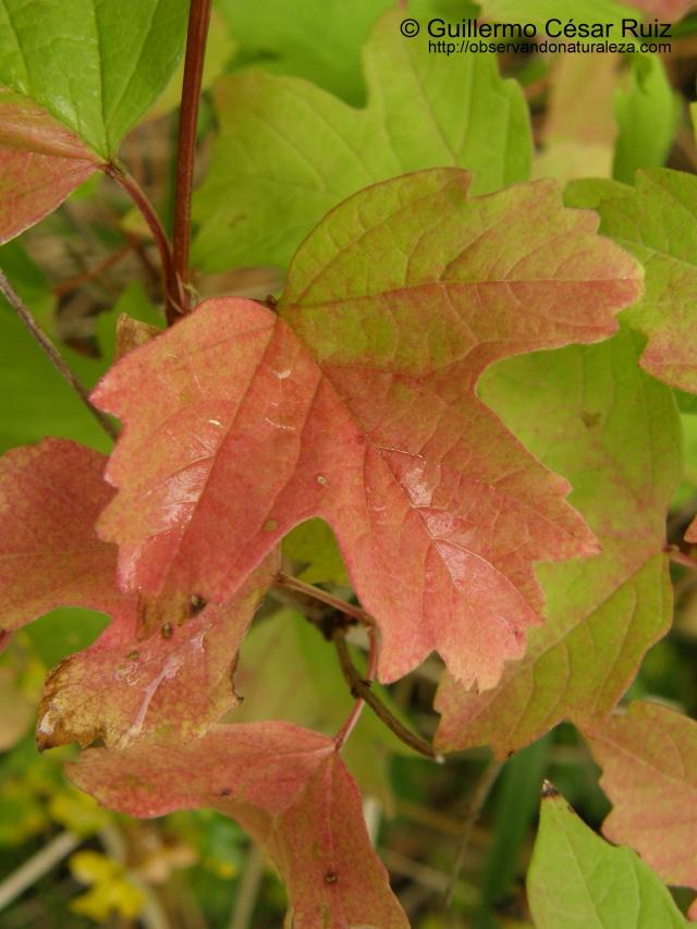 Hoja en otoño, Viburnum opulus