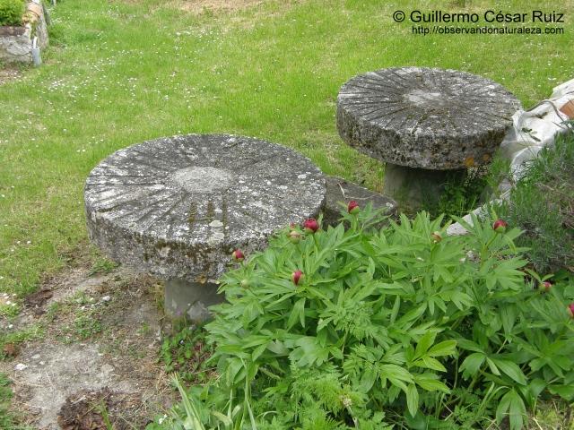 Piedras volanderas de molino maquilero usadas como mesas