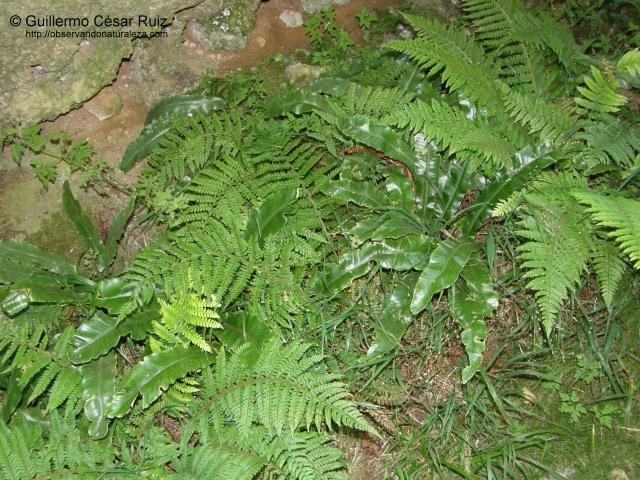 Polysticum setiferum y Phillytis scolpendrium