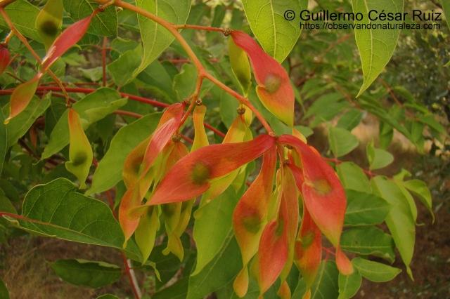 Ailanto Ailanthus altissima