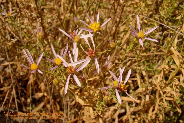 Manzanilla de pastor, Aster sedifolius subsp. sedifolius, detalle flores