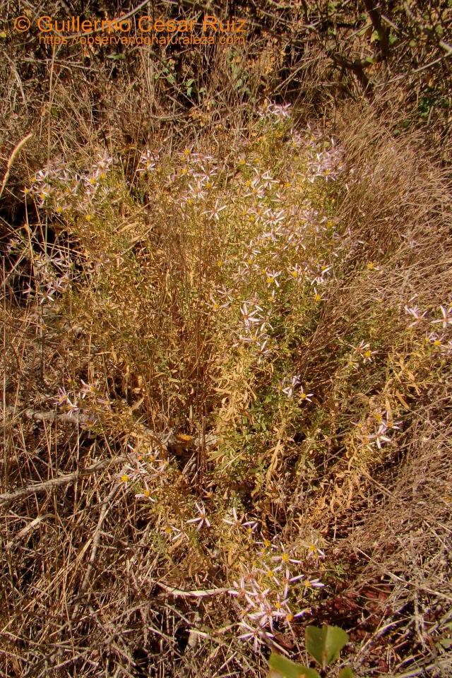 Manzanilla de pastor, Aster sedifolius subsp. sedifolius