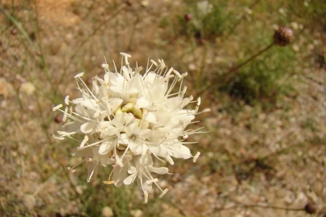 Escabiosilla blanca,Cephalaria leucantha