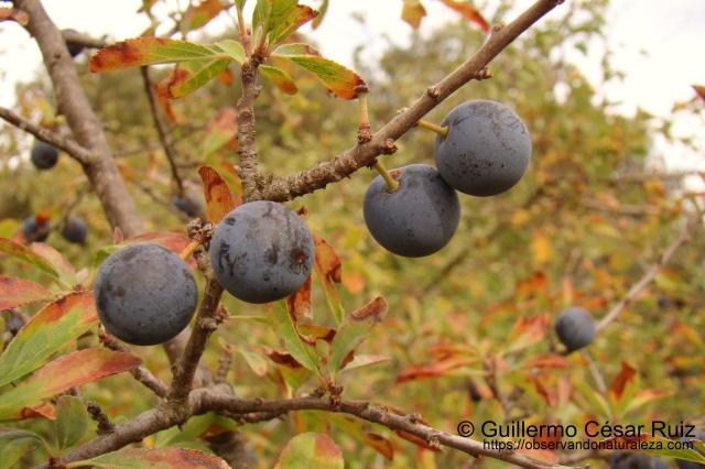 Endrino Prunus spinosa