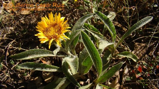 Falsa árnica, Inula montana