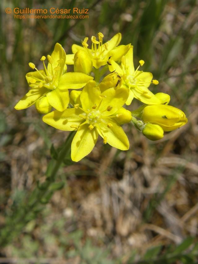 Ruda linosa Haplophyllum linifolium