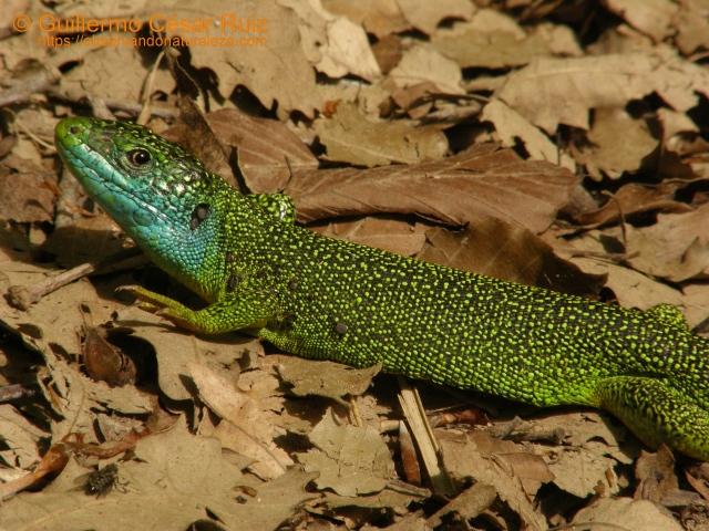 Lagarto verde Lacerta viridis
