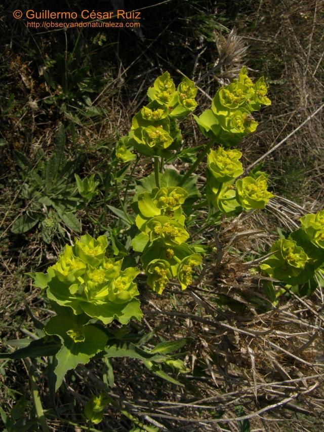 Lechetrezna, Euphorbia serrata