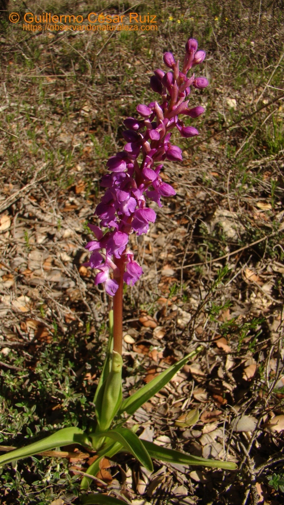Orchis mascula, subsp. mascula