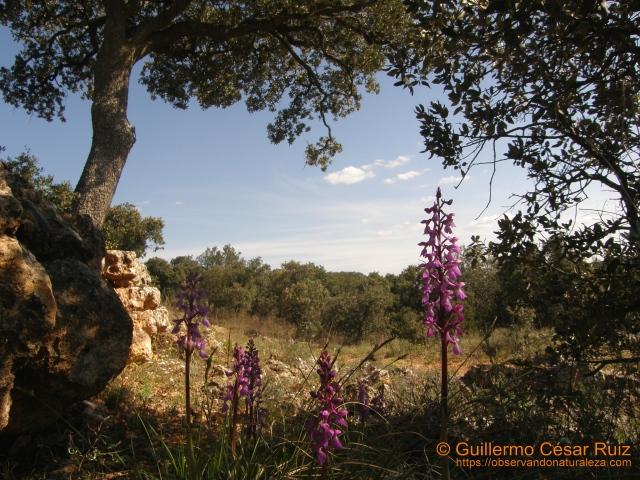 Satirón manchado Orchis mascula