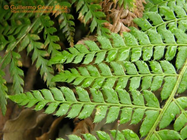 Píjaro, Polystichum setiferum, fronde